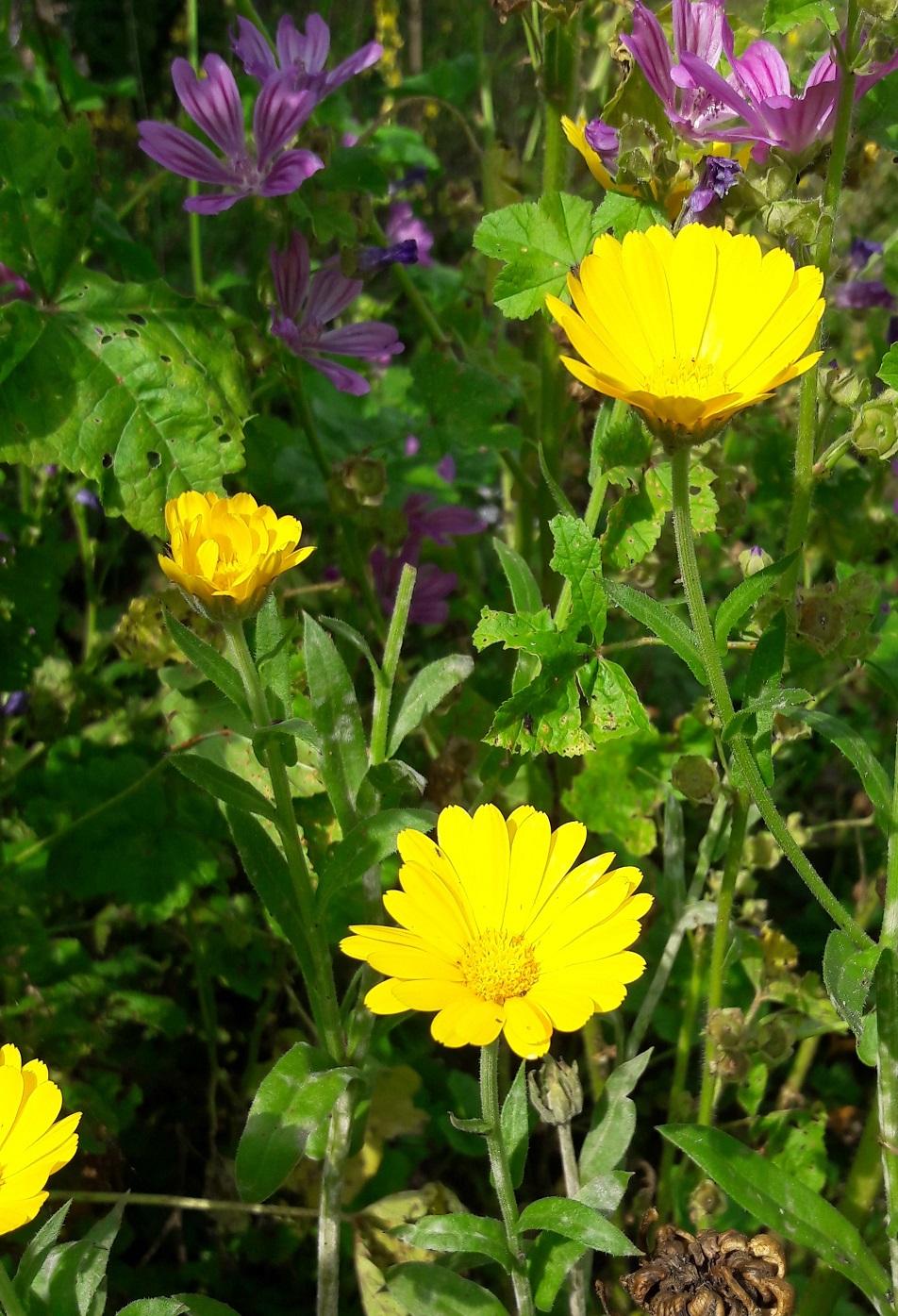 Goudsbloem (Calendula officinalis)